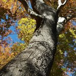towering trees in their fall outfits