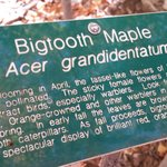 Info about Bigtooth Maples