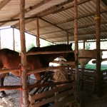 horses at stable