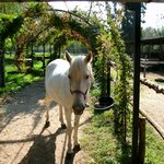 beautiful white horse at stable