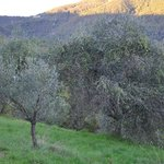 Surrounding olive trees
