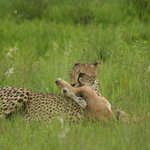 Excellent sightings of cheetah