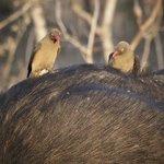 Ox Peckers