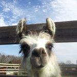 Steve, the baby llama