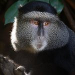 Blue Vervet monkey, up close and personal