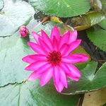 Lotus .... in an artificial pond