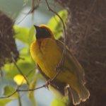 golden weaver bird, displaying