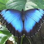 Beautiful irridescent blue Morpho