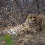 same cheetah