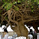 Hau Tree open air restaurant in hotel lobby