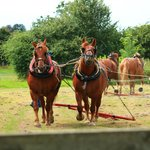 Suffolk Punch Horses - a treat to see