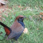 Indian Robin in hotel grounds