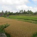 View of the rice fields from one of the balconies