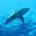 Elphinstone Shark