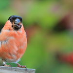 Bullfinch at St Cuthberts Cottage