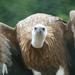 Gansgeier (Vulture)
