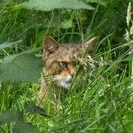 Scottish Wildcat at Aigas Field Centre