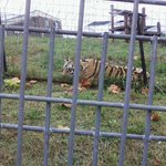 Several of the tigers were sociable, venturing along edge of their habitats as we passed by.