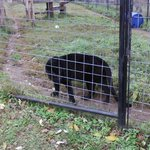 Black leopards comes up to give us a closer look.