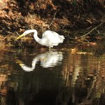 gorgeous egrets in lagoon