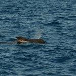 Pilot whale on an excursion