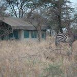 Zebra visiting the Serengeti Wildcamp