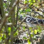 gator off Indigo Trail