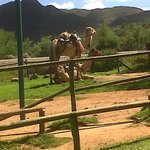 2 of the very obedient Camels at Wilgewandel
