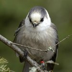 Gray Jay at Opeongo Road in Algonquin Park