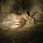 lepard kill