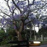 Gentle giant Jacaranda