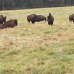 Buffalo roaming wild