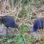 Purple Swamphens at Green Cayn Wetlands 11-5-13