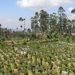 Strawberry plantations