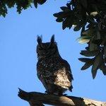 Resident Owl