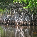 Beautiful mangrove trees