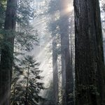 Light coming through the Redwoods