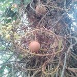 Cannon ball tree fruit