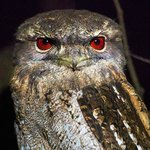 Papuan Frogmouth outside our room