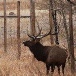 Elk in Rocky Mountain National Park
