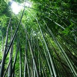 Bamboo Forest - amazing how tall these are