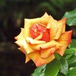 Lovely Rose in the Museum gardens.