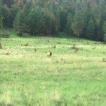 Elk herd leader