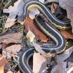 Snake alongside trail