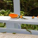 Geckos at breakfast