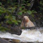 Spirit Bear eating Salmon