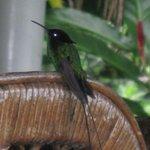 Hummingbird 'Doctor bird'