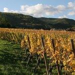vignes de Riquewhir