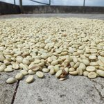 Coffee beans drying in the sun