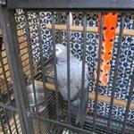 Poulette the parrot